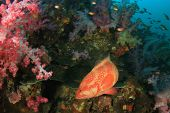 picture of grouper  - Coral Grouper fish - JPG