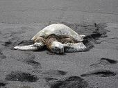 pic of sea-turtles  - Photograph of sea turtle on black sand beach