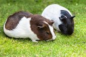 picture of guinea  - Two brown and white Guinea pig eat green grass - JPG