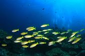 image of school fish  - Snappers fish school - JPG