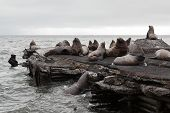 pic of sea lion  - Nature of Kamchatka - JPG