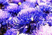 image of chrysanthemum  - Chrysanthemum flowers - JPG