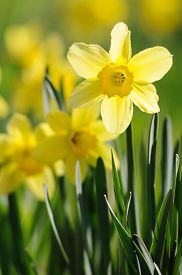 stock photo of daffodils  - Spring time daffodils in full bloom in the garden  - JPG