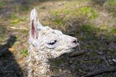 pic of lamas  - Newborn white Llama  - JPG