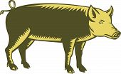 picture of pig-breeding  - Illustration of a tamworth pig standing viewed from the side set on isolated white background done in retro woodcut style - JPG