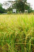 foto of rice  - rice fields or rice paddies stalks of rice - JPG