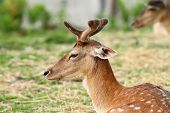 picture of antlers  - young deer buck with growing antlers  - JPG