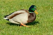 foto of duck  - The mallard or wild duck  - JPG