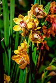 picture of yellow orchid  - Beautiful yellow orchid flowers - JPG