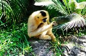 picture of peek  - Golden cheek gibbon also known as yellow - JPG