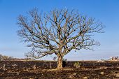 picture of prairie  - A large oak tree although bare still stands following a prairie fire  - JPG