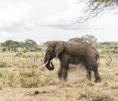 image of bathing  - Elephant dust bathing - JPG