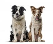 stock photo of border collie  - Two Border collies in front of a white background - JPG
