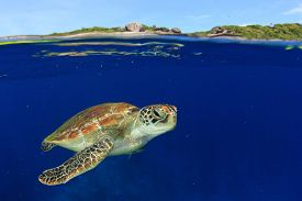 picture of half  - Green Sea Turtle - JPG