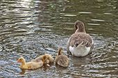 picture of mother goose  - Cute mother goose with her goslings swimming in the river - JPG