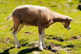 image of baby goat  - One mountain baby goat standing on a green pasture in summer - JPG