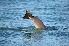 stock photo of bottlenose dolphin  - Tail of diving Common bottlenose dolphin near Sanibel island in Florida - JPG