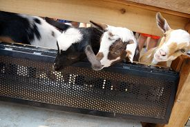 picture of baby goat  - Baby goats peer through a fence - JPG