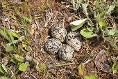 image of killdeer  - four killdeer eggs in a nest on the ground - JPG