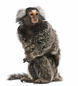 pic of marmosets  - Common Marmoset Callithrix jacchus 2 years old sitting in front of white background - JPG