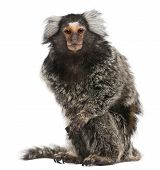 foto of marmosets  - Common Marmoset Callithrix jacchus 2 years old sitting in front of white background - JPG