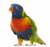 stock photo of lorikeets  - Rainbow Lorikeet Trichoglossus haematodus 3 years old standing in front of white background - JPG