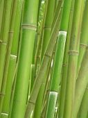 image of bamboo forest  - Green bamboo grove - JPG