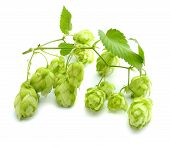 Beer Brewing Ingredients Hop Cones Isolated On White Background. Beer Brewery Concept. Beer Backgrou poster