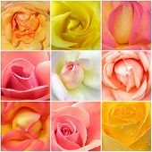 stock photo of pink rose  - Beautiful collage of roses from nine photos - JPG