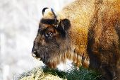 stock photo of aurochs  - Big wild bison in the winter forest  - JPG