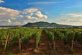 Vineyards At Sunset In Autumn Harvest. Ripe Grapes.wine Region, Southern Moravia - Czech Republic. V poster