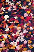 Fall Foliage Colors And Details In Acadia National Park In Maine, New England, During Their Famous A poster