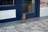 Tabby Cat With Green Eyes Sitting And Watching The World Go By.  Stray Cat Sitting On Sidewalk In Ha poster
