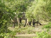 Elephants In Sri Lanka. Two Young Asian Elephants In The National Park, Sri Lanka. Asian Elephants O poster