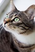 Green-eyed Cat Snout, Pet, Miscellaneous, Big, Gray, Beautiful, Other poster