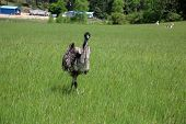 Emu Bird. Beautiful Emu Bird in a field. Emu  a flightless bird from Australia outdoors. Animals and poster