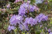Rhododendron Bush. Ornamental Cultivated Garden Flower Lilac Magenta Magenta Petals Leaves, Garden S poster