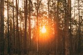 Beautiful Sunset Sun Sunshine In Sunny Forest. Sunlight Sun Rays Shine Through Woods In Forest Lands poster