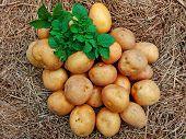 Raw Potatoes Pile Harvest Closeup & Potatoes Leaf On Organic Farm. Potatoes Plant Vegetable Harvest  poster