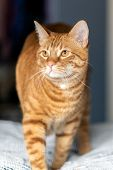 Orange And Furry Tabby Cat Walks Across The Upholstery With Whiskerys Spread And Eyes Alert. poster
