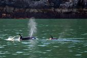 Mother Orca Killer Whale Spouting While Next To Baby Calf In Kenai Fjords National Park In Seward Al poster