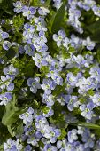 Wild Forget-me-nots Small Blue Flowers In Nature. Vertical Photo Background Wallpaper. Beautiful Wil poster