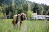 Cow. A beautiful cow in a green field or pasture. Milk Cow outside on a farm.  poster