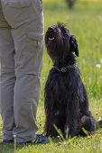 Dog Obedience Training.  Side View Of Black Schnauzer Dog Sitting In Front Of Her Owner. poster