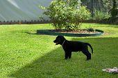 Standing Black Dog Portrait - Labrador Hybrid And Retriever.black Ten Week Old Puppy Labrador Standi poster