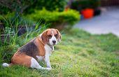Beagle Puppy Sitting On Green Grass, Portrait Cute Beagle Dog poster