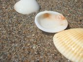 Still Life Of Seashells