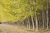picture of vaquero  - Poplar Forest in Fuente Vaqueros - JPG