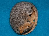 picture of baby animal  - A baby fox squirrel Sciurus niger sleeping curled up in a ball against a teal colored fleece blanket - JPG
