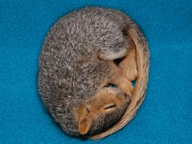 stock photo of baby animal  - A baby fox squirrel Sciurus niger sleeping curled up in a ball against a teal colored fleece blanket - JPG